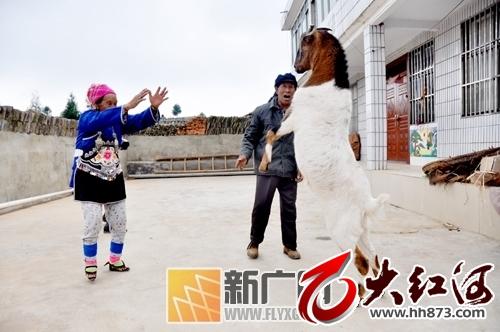 """泸西县握测村有只""""才艺羊""""屌爆啦!"""
